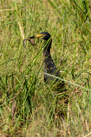African Darter With Lunch - Botswana